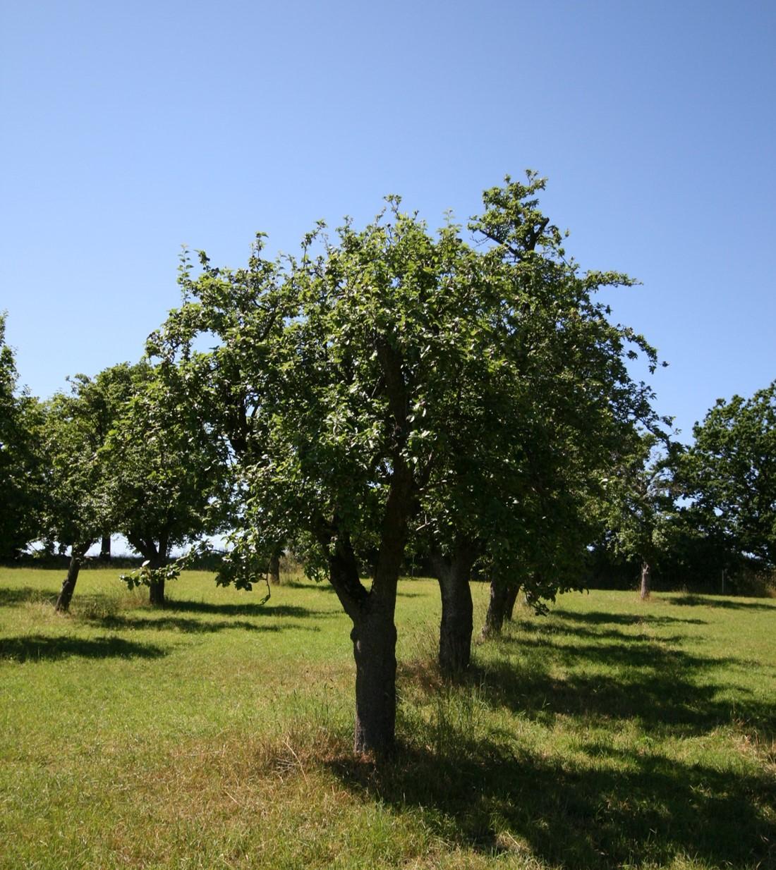 Alte Obtsbäume im Doktorgarten